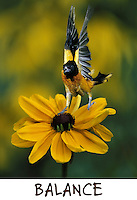 Northern Oriole balancing on black-eyed susan in mid-flight