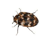 varied carpet beetle<br /> Anthrenus verbasci