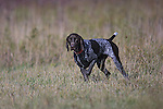 German Shorthaired Pointer Shopping cart has 3 Tabs:<br /> <br /> 1) Rights-Managed downloads for Commercial Use<br /> <br /> 2) Print sizes from wallet to 20x30<br /> <br /> 3) Merchandise items like T-shirts and refrigerator magnets