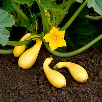 Agriculture - Yellow crooked neck squash, some harvested and some still on the plant with blossom / California, USA.