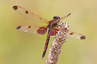 Calico Pennant (Celithemis elisa) Dragonfly - Male, Harriman State Park, Stony Point, Rockland County, New York