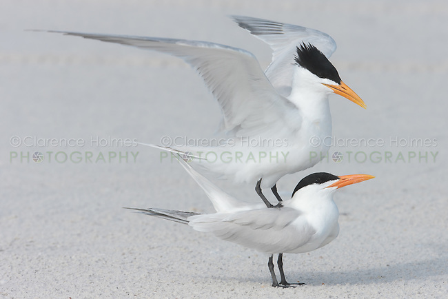 Royal Terns (Sterna maxima) prepare to mate