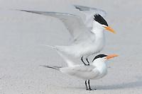 Royal Terns (Sterna maxima) prepare to mate