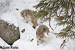 Coyotes competing for a nearby carcass. Yellowstone National Park, Wyoming.