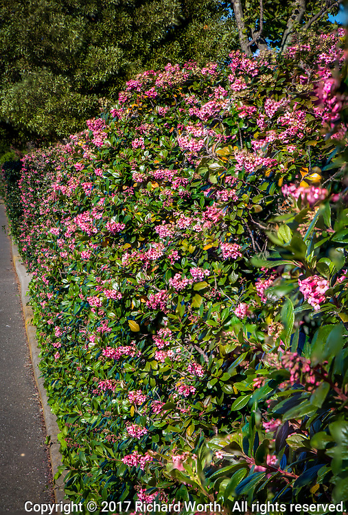 A six foot high hedge of pink flowers and green leaves along a regional park trail.