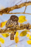 Northern Pygmy Owl or Northern Pygmy-Owl (Glaucidium gnoma) in backlit alder tree.  Pacific Northwest.  Fall.  A small woodland owl.