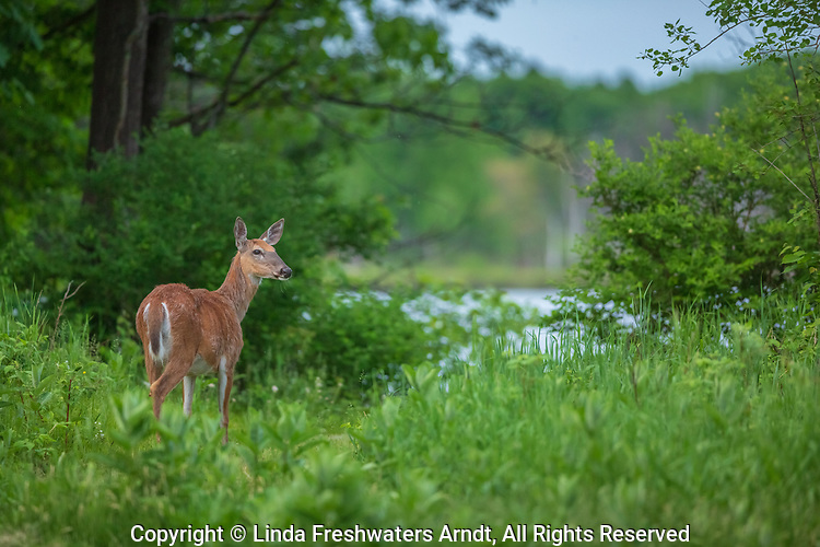 White-tailed doe following a path to a wilderness lake.