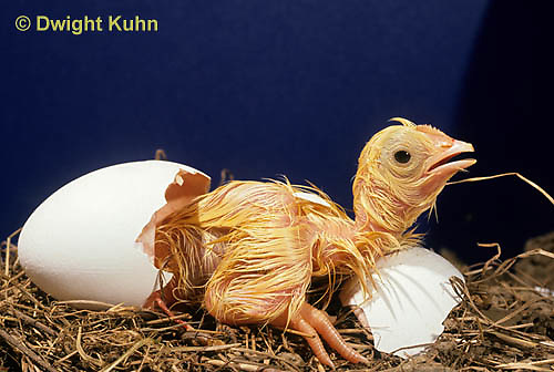 DG02-009x  Chick hatching from egg, chicken egg tooth