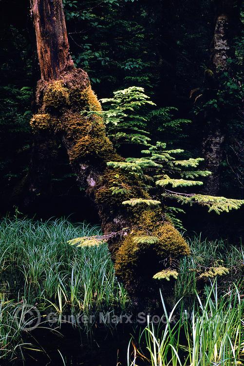 Haida Gwaii (Queen Charlotte Islands), Northern BC, British Columbia, Canada - Moss Covered Nursing Tree in Temperate Rainforest on Graham Island