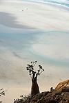 .Socotran desert rose (Adenium Obesium sokotranum) above qalansiyah lagoon. Socotra. Yemen