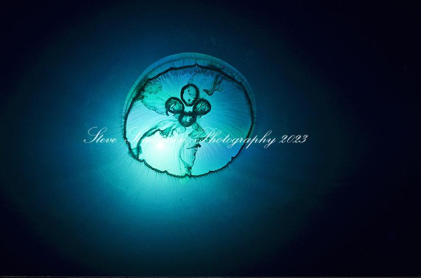 Moon Jelly<br /> (Aurelia aurita)<br /> Caribbean