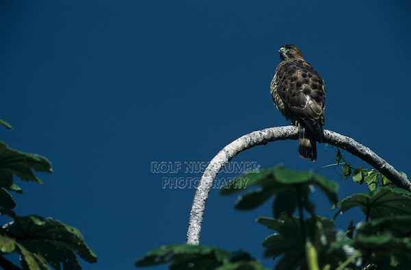 Puerto Rican Sharp-shinned Hawk, Accipiter striatus venator, adult, El Yunque, Caribbean National Forest, Puerto Rico, USA