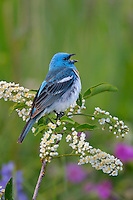 Male Lazuli Bunting (Passerina amoena) singing while perched in a choke cherry bush.  Western U.S., summer.