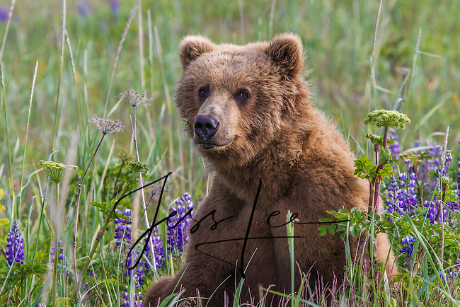Alaska_Bear Photo Grizzly Bear or brown bear alaska Alaska Brown bears also known as Costal Grizzlies or grizzly bears