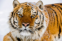 Siberian tiger or Amur tiger, Panthera tigris altaica, c, note wiskers and nose