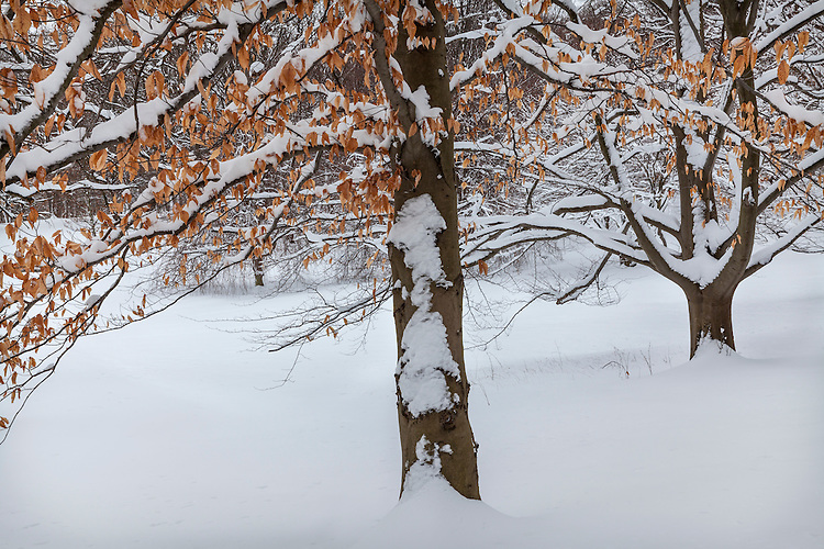 Winter scene and Beech Tree patterns at The Morton Arboretum; DuPage County, IL