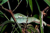 Bornean Keeled Green Pit Viper, Tropidolaemus subannulatus, seen during night walk in rainforest, Sepilok National Park, Sandakan, Sabah, Northeastern Borneo, Malaysia