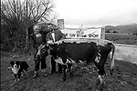 1992 The Blackwater Taverm (owner Teddy O'Neill) Direendraugh, Blackwater, Sneem, County Kerry Ireland 1992:  The Gay Byrne Radio Show, (Ireland's most listened to show) celebrated 'Big Bertha', reaching 48 years of age and appearing in the Guinness Book of Records as the world's oldest cow. In this photograph show Joe Duffy and owner Farmer Jerome O'Leary cut the cake outside the pub as the party is broadcast live on air in 1992. Bertha left her 'mark' on the floor during the transmission.<br /> Big Bertha died on New Year's Eve 1993.<br /> Photo: Don MacMonagle <br /> e: info@macmonagle.com