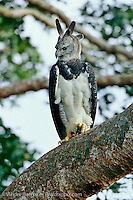 "Harpy Eagle (Harpia harpyja) perched on an emergent ""Shihuahuaco"" tree (Dipteryx sp.) in lowland tropical rainforest, Tambopata Reserve, Madre de Dios, Peru."
