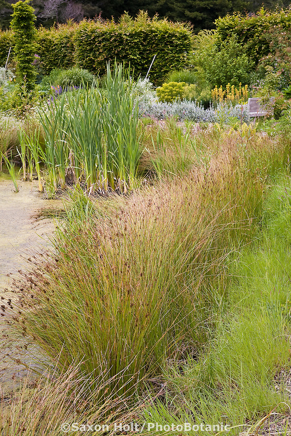 Reeds (Juncus) plant water filtration in bio pond at Digging Dog Nursery