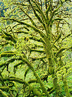 Big Leaf Maple tree with moss and new growth. Oregon coastal range.