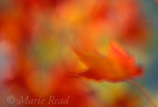 Autumn leaves abstract, New York, USA<br /> Slide # ABSF-37
