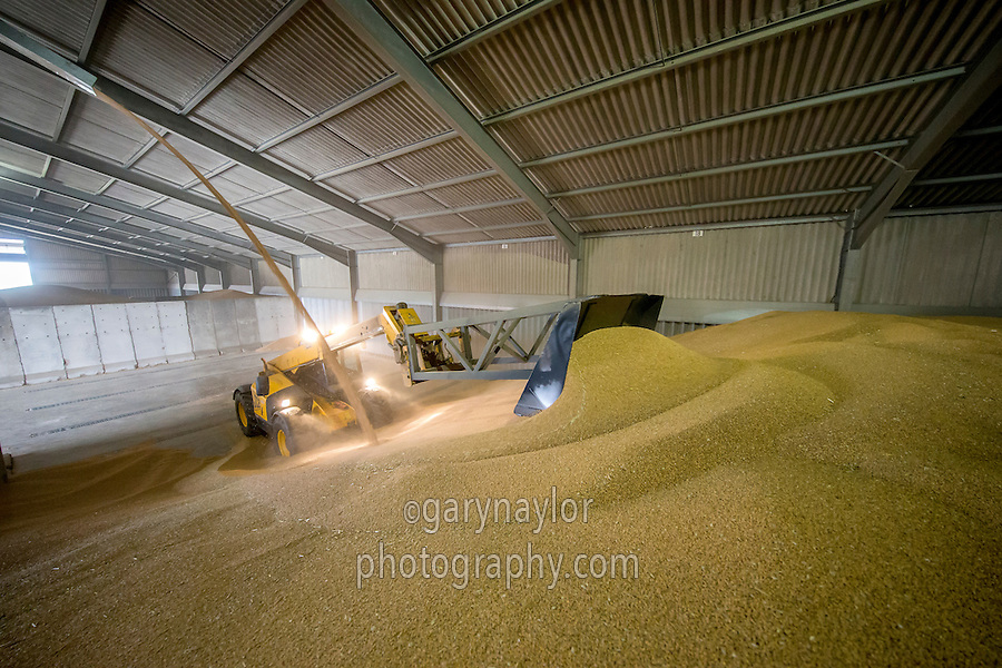 Loading 5,000t wheat store with dried grain - Lincolnshire, September