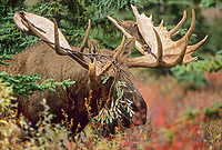 Large bull moose with branch in antlers from thrashing willow bushes during the mating season. Denali National Park, Alaska