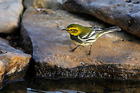 "An abundant breeder of the northeastern coniferous forests, the Black-throated Green Warbler is easy to recognize by sight and sound. Its dark black bib and bright yellow face are unique amongst Eastern birds, and its persistent song of ""zoo-zee, zoo-zoo-zee"" is easy to remember."