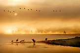 USA, Wyoming, geese in water and flying at sunrise, Yellowstone River, Yellowstone National Park