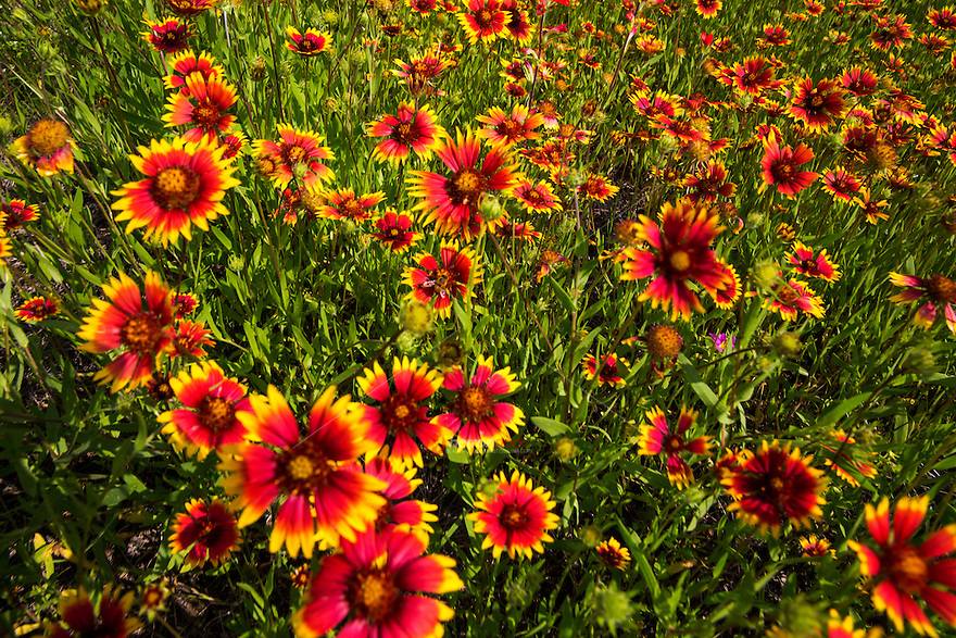 Closeup image of vivid red Indian Blanket Firewheels scenic landscape photo, Texas Hill Country wildflowers in Marble Falls, Texas - Stock Image.