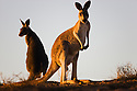 Australia,  NSW, Sturt National Park; red kangaroo female and joey (Macropus rufus) on sandy ridge at sunset; the red kangaroo population increased dramatically after the recent rains in the previous 3 years following 8 years of drought