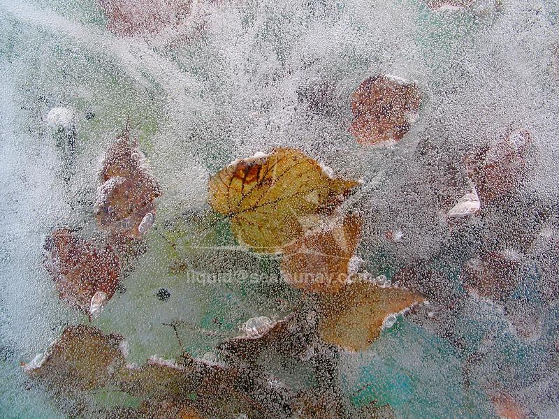 Leaf prisoner from ice during winter.