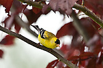 Gold Finch, Port Angeles, Washington.