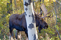 Bull moose with fall color. Teton National Park, WY