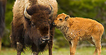 This cow and calf bison share a tender moment in Yellowstone National Park, June 3, 2011. Photo by Gus Curtis.