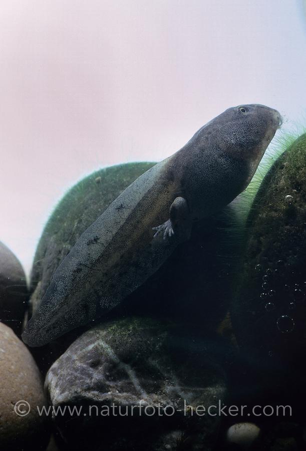 Gelbbauchunke, Gelbbauch-Unke, Bergunke, Kaulquappe, Larve, Unke, Unken, Bombina variegata, yellow-bellied toad, yellowbelly toad, variegated fire-toad