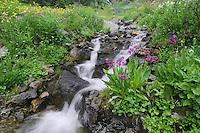 Parry's Primrose,Primula parryi, Ouray, San Juan Mountains, Rocky Mountains, Colorado, USA, July 2007