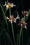 Rush (Juncus), Sierra Nevada Range, California, USA