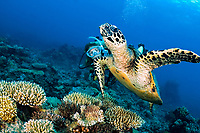Hawksbill Sea Turtle, Eretmochelys imbricata, and woman scuba diver, Flynn's Reef, Great Barrier Reef, Queensland, Australia, Coral Sea, Pacific Ocean