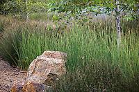 Juncus pallidus (Pale Rush) along seasonal stream drainage with Juncus polyanthemus in urban park landscape design meadow garden, Jeffrey Open Space, Irvine California