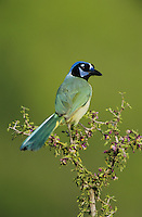 Green Jay, Cyanocorax yncas,adult on blooming Guayacan (Guaiacum angustifolium) , Starr County, Rio Grande Valley, Texas, USA, March 2002