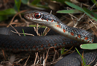 Southern Black Racer - Coluber Constrictor Priapus - A young individual found under a cardboard box behind a parking lot in Crystal River, Florida.