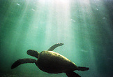 MEXICO, Baja, Magdalena Bay, Pacific Ocean, a turtle seen underwater while grey whale watching in Magdalena bay