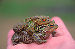 A07XN5 Frogs having sex held in a person's hand