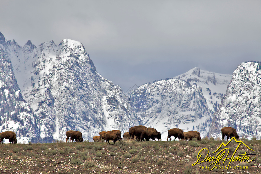 Bison graze at the foot of the  Grand Tetons, Grand Teton National Park