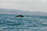 this humpback whale is swimming in the coastal waters of puerto lopez ecuador