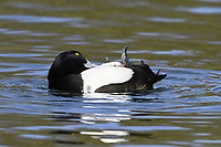 Tufted Duck - Aythya fuligula - male preening