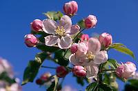 Deutschland, Niedersachsen, Altes Land, Apfelblüte