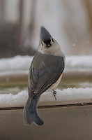 Tufted Titmouse turns to see what I am doing, while he drinks a much needed drink from our heating bird bath.
